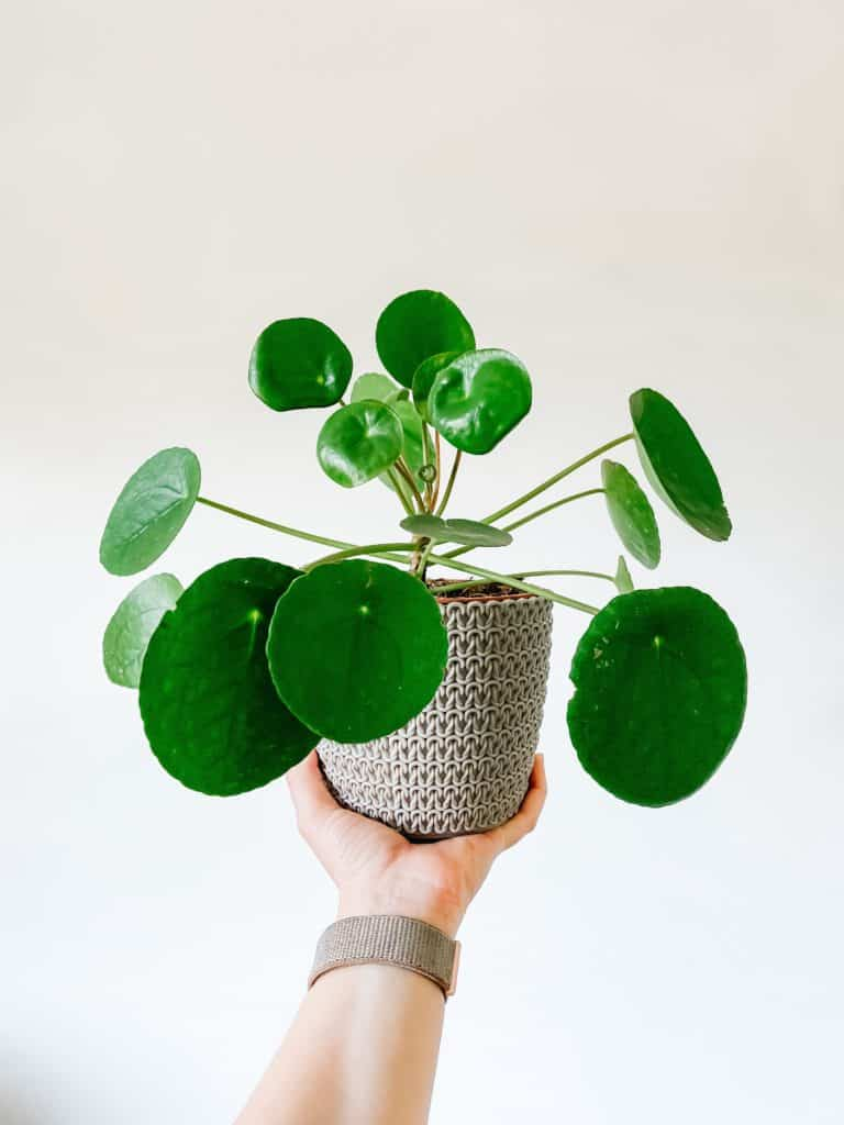 Missionary plant also known as Chinese money plant with saucer shaped leaves