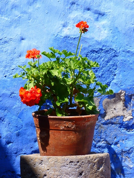 Red Geranium in pot against blue wall