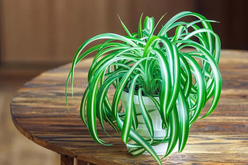 Healthy spider plant in pot on wooden table