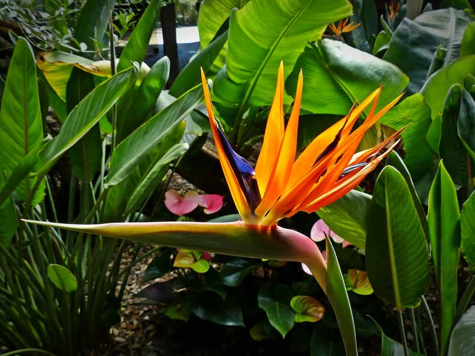 Bird of Paradise flower with leaves in background
